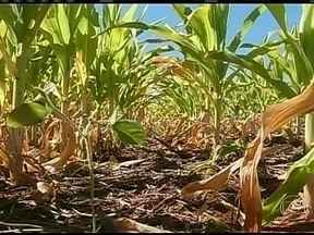 Falta de chuva prejudica produtores de milho em São Paulo - A estiagem tem prejudicado o desenvolvimento de lavouras de milho safrinha no estado. A estimativa é que pelo menos 20% dos 42 mil hectares da cultura plantados na região de Ourinhos tenha sido afetado pela fala de umidade.