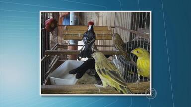 Mais de cem aves silvestres foram apreendidas em duas casas em Nossa Senhora do Ó - Entre os pássaros, há espécies ameaçadas de extinção. No local, foram encontrados 900 litros de álcool combustível armazenados em galões e um revólver.