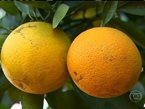 Nova safra de laranja começa a ser colhida em São Paulo - A nova safra de laranja começou a ser colhida em São Paulo. Os agricultores estão preocupados com o preço baixo e com as indústrias de suco, que não estão fechando contrato para compra a fruta.