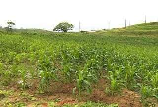 Veja como está a produção de milho no Estado de Sergipe - Assista ao vídeo e veja como está a produção deste produto, que é a base de diversos pratos típicos dos festejos juninos. A chuva ainda não está sendo suficiente para uma boa quantidade de milho.