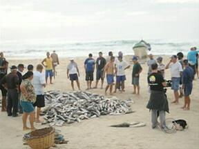 Apesar de fraca, pescadores estão otimistas com pesca da tainha - Apesar de fraca, pescadores estão otimistas com pesca da tainha.