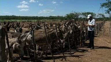 No Ceará, 800 jumentos em situação de abandono são retirados das ruas - Seca aumenta o abandono de animais.