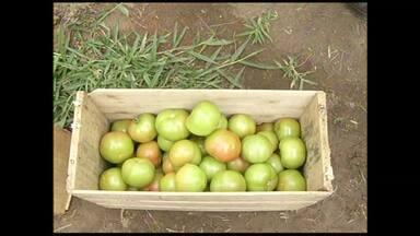 Tudo pronto para tradicional Festa do Tomate de Paty do Alferes, no RJ - Festa acontece até domingo (2 de junho) no distrito de Avelar.