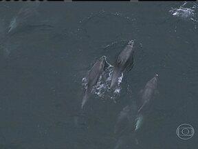 Grupo de golfinhos é flagrado nadando pela orla do Rio - Dezenas de golfinhos, entre eles alguns filhotes foram vistos na altura de Copacabana e seguiram por Ipanema e Leblon. No Arpoador, o grupo passou por uma mancha, que parecia ser de óleo.