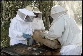 Produção de mel ajuda a movimentar a economia no Norte de Minas - Em 2012, foram produzidos quase 300 mil quilos do alimento.