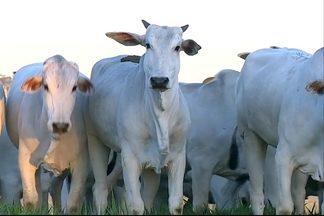 Preço do boi gordo sobe nos últimos três meses - Fazenda próxima a Goiânia tem o confinamento de gado interrompido há quatro anos por causa do custo de produção. Frigoríficos da região oeste de São Paulo estão com menor oferta de gado.