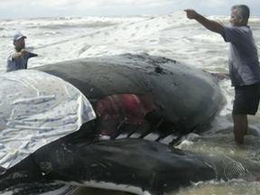 Número de baleias encalhadas no litoral do sul baiano preocupa ambientalistas - Este ano, além da tradicional visita das baleias na região, animais raros de serem encontrados em praias baianas apareceram.