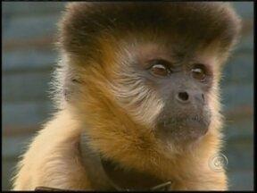 Veterinários de Assis, SP, atestam que macaco 'Chico' é fêmea - Exames veterinários feitos no macaco conhecido como Chico, que viveu durante 37 anos com uma família de São Carlos (SP), comprovaram que na verdade o animal é uma fêmea. O macaco-prego foi retirado da casa onde vivia pela Polícia Ambiental.