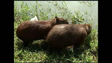Capivaras chamam a atenção em áreas urbanas de Resende, RJ - Elas vivem às margens do Rio Paraíba do Sul e já se tornaram uma atração comum, mas podem transmitir doença. Advogada explica a pena para quem caça esse tipo de animal.