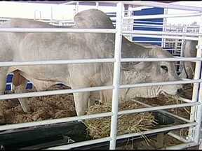 Expogenética começa em Uberaba, MG - A feira apresenta novidades para a pecuária de corte. Para muitos criadores, o evento é uma boa oportunidade de melhorar o rebanho. O destaque da edição é a estrutura montada para receber os reprodutores do Programa Nacional de Avaliação de Touros.