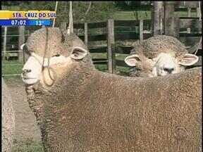 Produtores de Bagé, RS, preparam ovinos para a viagem até a Expointer em Esteio, RS - Exposição terá grande participação da cabanha da Região da Campanha do RS.