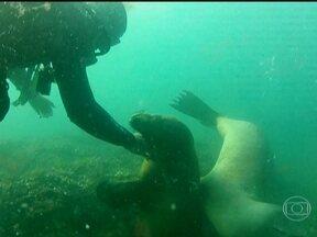 Contato de leões marinhos com mergulhadores beira a intimidade - Um mergulho de superfície com snorkel já é suficiente para atrair a atenção dos bichos. Eles surgem inicialmente tímidos, mas aos poucos se soltam e encurtam a distância.