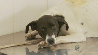 Cães abandonados em Poços de Caldas recebem chip de identificação - Cães abandonados em Poços de Caldas recebem chip de identificação