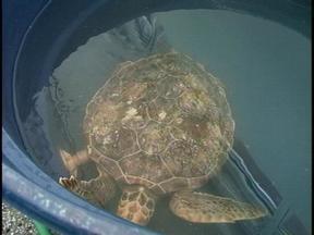 Tartarugas lotam Centro de Recuperação de Animais Marinhos, em Rio Grande, RS - Cerca de dez pessoas trabalham no local.