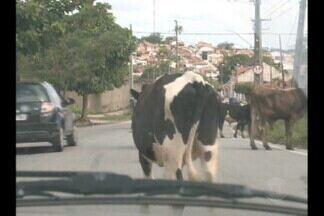 Dezenas de animais soltos na pista são flagrados em Campina Grande - Cerca de 10% dos acidentes registrados em 2013 na Paraíba foram causados por animais na pista.