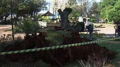 Pelo menos 10% de todas árvores de Campo Grande correm risco de cair - Apreensão aumentou após a queda de uma árvore na praça Ary Coelho