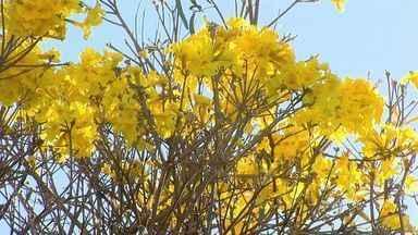 Ipês encantam e ajudam no combate à gripe - Chá feito com raiz de árvore brasileira ajuda no combate à tosse.