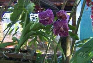 Orquidófilo dá dicas para quem quer iniciar o cultivo com a orquídea - Assista ao vídeo e saiba como iniciar o cultivo com a espécie. Confira.