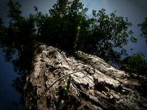 Maioria das árvores em São Paulo não são típicas da região - As espécies nativas são mais preparadas para as condições ambientais da região. Árvores em áreas urbanas são importantes também para evitar alagamentos.