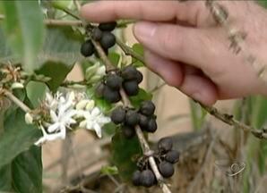 Preço do café em baixa prejudica produtores do Sul do ES - O mercado continua em baixa. Confira a cotação.