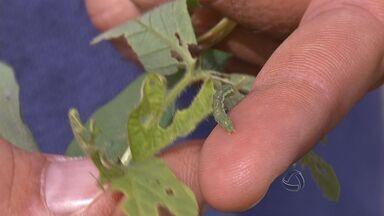 Agricultores da região norte de MT enfrentam problemas com as lagartas - Helicoverpa atinge lavouras da região norte do estado.