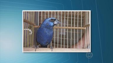 Cipoma apreende 647 aves silvestres da fauna pernambucana em Lajedo - Animais de dez espécies diferentes estavam na casa de um homem, que foi atuado em flagrante.