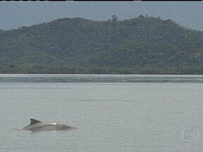 Botos estão desaparecendo das águas da Baía de Guanabara - Os animais, que são símbolos do Rio, correm o risco de desaparecer da Baía de Guanabara até 2016. Nos últimos dez anos, a população de botos caiu pela metade.