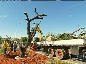 Operação especial é montada para remover árvores em Brasília - Por causa das obras para a Copa do Mundo, 67 sibipirunas que estão no canteiro central da estrada que dá acesso ao Aeroporto de Brasília terão quer ser retiradas. A empresa que ganhou a licitação se comprometeu a fazer de tudo para salvar as árvores.