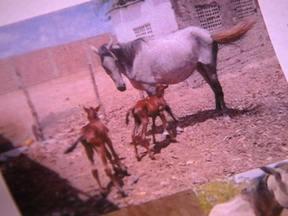 Nascimento de cavalos gêmeos é bastante raro - Emerson Freitas, de Recife, mandou um e-mail contando que na Paraíba nasceram duas potras gêmeas. O veterinário Enrico Ortolani, consultor do Globo Rural, disse que o nascimento de gêmeos em equinos ocorre uma vez a cada mil partos.