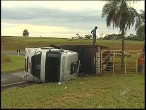 Caminhão com gado tomba em curva e mata seis bois em rodovia de Icém - Um caminhão que fazia o transporte de gado tombou nesta sexta-feira (22) na BR-153 perto de Icém (SP). O motorista não se feriu, mas alguns animais morreram. Uma operação foi montada para garantir a segurança na pista.