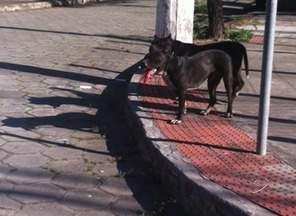Pitbulls soltos atacam homem e cadela em Vitória - Segundo dono dos animais, eles fugiram porque o portão estava quebrado.A cadela atacada precisou passar por uma cirurgia.