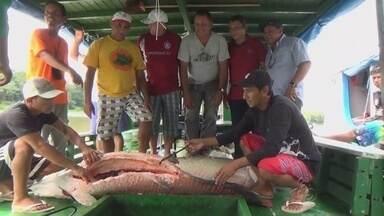 Começa em Beruri, no AM, a 5ª Festa da Castanha - Durante a programaçã,o uma tonelada de piracuru será comercializada a preço popular para divulgar a importância dos projetos de manejo sustentável desenvolvidos em Beruri.