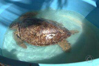 Veja o que acontecem com as tartarugas encontradas na orla da grande João Pessoa - Tem se tornado comum encontrar tartarugas mortas ou debilitadas nas praias urbanas da região.