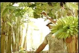 Produtor rural de Jaíba investe na produção ecológica da banana - Produção do fruto não utliza agrotóxicos.