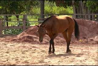 Polícia montada recebe reforços em Santarém - Mais 10 cavalos serão usadas em rondas da Polícia Militar em bairros com ruas de difícil acesso.
