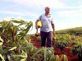 Em Mandaguari um produtor colhe cebola e pepino tamanho família - O segredo para essa grande produção está no cuidado e na dedicação à pequena propriedade onde ele planta de tudo um pouco