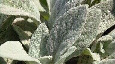 Pesquisadores da Ufla se dedicam ao estudo de hortaliças raras - Pesquisadores da Ufla se dedicam ao estudo de hortaliças raras