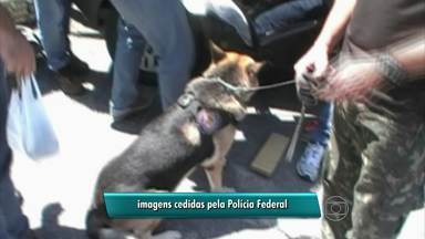 Cão farejador da PF ajuda a localizar 79 quilos de maconha em PE - Droga foi apreendida no município de Xexéu, perto da divisa com Alagoas. Dois homens foram presos.