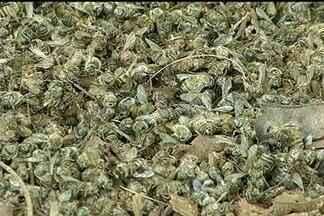 Morte de abelhas - Apicultor do município de Pontalinda registra a morte de milhares de abelhas. Situação pode ter sido causada por defensivos agrícolas