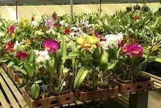 Calor nos orquidários - Clima quente prejudica cultivo de orquídeas. Em Várzea Paulista, os produtores mudaram a rotina nos orquidários para manter a qualidade das plantas. Os custos subiram