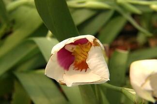 Quente para orquídeas - Calor acima do normal prejudica cultivo de orquídeas em Várzea Paulista. Custo da produção aumentou por causa do clima