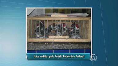 PRF apreende 400 pássaros durante fiscalização de rotina - Pássaros vão seguir para o Ibama, no bairro de Casa Forte.