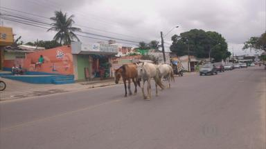 Cavalos soltos em avenida de Olinda atrapalham o trânsito - Animais estavam na Av. Carlos de Lima Cavalcanti, a mais movimentada da cidade. De acordo com a Vigilância Ambiental, quem abandona animais pode ser punido.