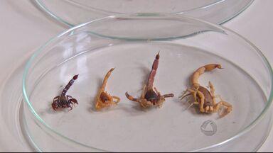 Em MS, altas temperaturas favorecem o aparecimento de escorpiões - Este período de calor acaba favorecendo o aparecimento de escorpiões, mas nem todos são perigosos. Veja como diferenciá-los.