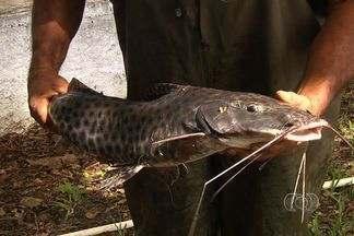 Produtores de Nova Veneza investem na piscicultura - Criadores estão satisfeitos com os investimentos, mas reclamam da segurança. Muitos peixes estão sendo roubados.
