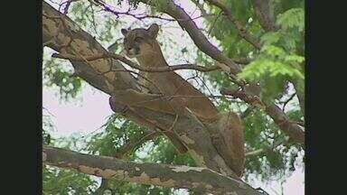 Bombeiros resgatam onça parda em cima de árvore no Centro de Bauru, SP - Uma onça parda estava no Centro de Bauru, em cima de uma árvore. O animal foi capturado depois de três horas.