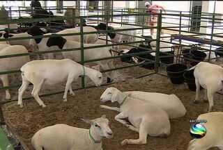 Próxima terça-feira começa exposição especializada em caprinos e ovinos - Próxima terça-feira começa exposição especializada em caprinos e ovinos