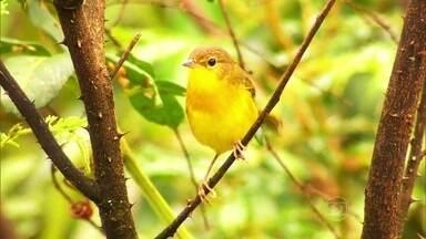 Saiba como se comportam as aves do Parque Nacional das Emas - Das 837 espécies de aves registradas no Cerrado, 450 foram encontradas no parque. São suiriri da chapada, tesourinha, arara canindé, a guardiã - a pequena bandoleta entre outras. Elas esbanjam liberdade e uma belíssima trilha sonora.