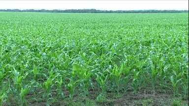 Plantio do milho está praticamente concluído em Mato Grosso - A diferença deste ano, em comparação a 2013, é a velocidade de comercialização da safrinha. Segundo os produtores, ela está bem mais lenta que nos anos anteriores.