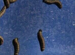 Após controle de praga de lagartas, aulas voltam ao normal em Palmares - Problema ocorreu na área interna da Autarquia Educacional da Mata Sul. Equipe do IPA realizou extermínio dos insetos e faz um acompanhamento.